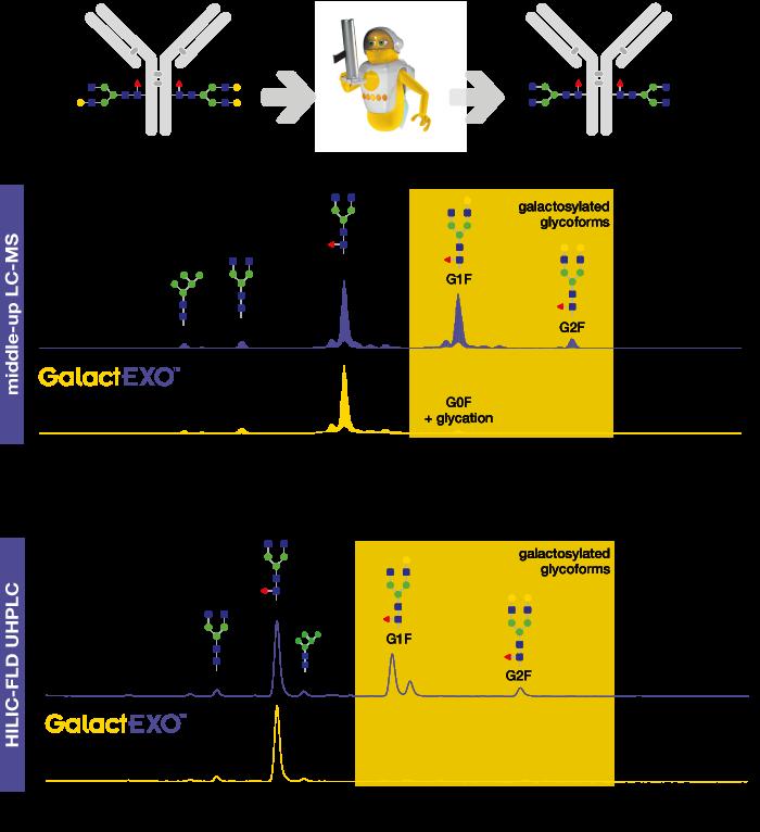 Making antibodies with G0 glycoforms within 1 h galactosidase GalactEXO