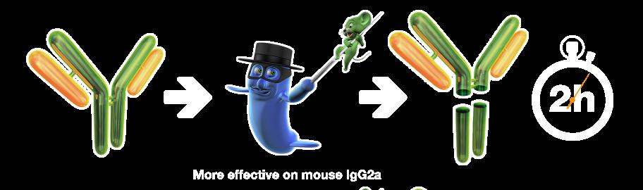 FabRICATOR®Z Antibody Cleavage